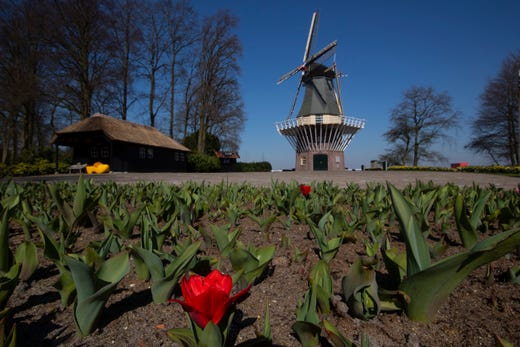 The first tulips start to blossom at the empty, world-renowned, Dutch flower garden Keukenhof in Lisse, Netherlands on March 26, 2020.