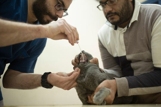 In this March 29, 2020 photo, a veterinarian tests an Egyptian cat for the coronavirus, a requirement for travel, at a clinic in Cairo, Egypt.