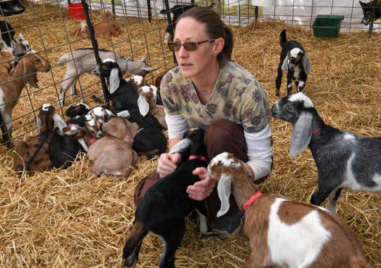 Jessica Bell, co-owner of Split Creek Farm in Anderson checks on week-old kids at the farm Wednesday. Split Creek Farm became a grade A goat dairy farm in 1985 after starting in 1977, and has won numerous awards for their goat cheese over the years.