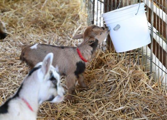 A week-old kid drinks goat milk at Split Creek Farm in Anderson Wednesday.