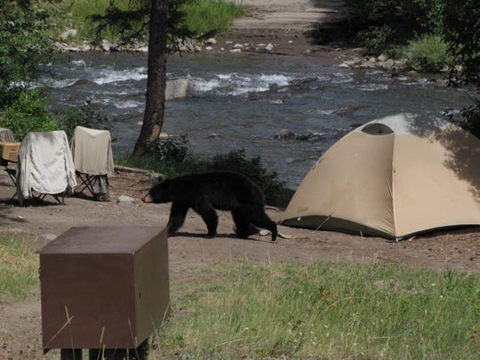 A black bear wanders through a camp in the Helena-Lewis & Clark National Forest