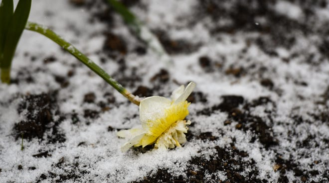 A snow-laden daffodoil weighed down by snow.