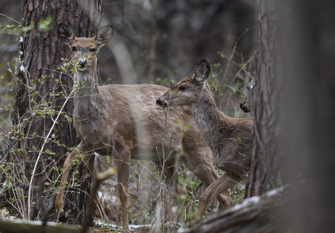 Three whitetail deer seen at Fenner Nature Center in Lansing, Wednesday, April 22, 2020.