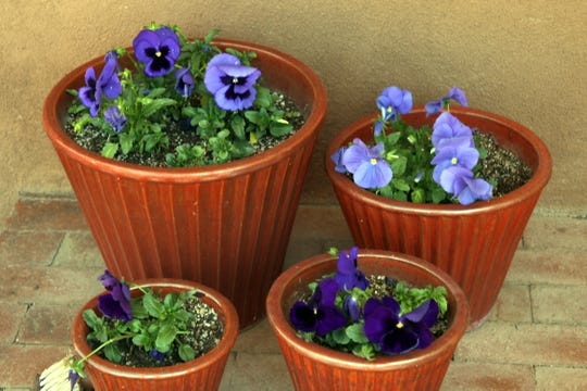 Pansies grow well in protected areas with minimal sunlight exposure.