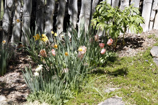 An outdoor flower bed featuring tulips.