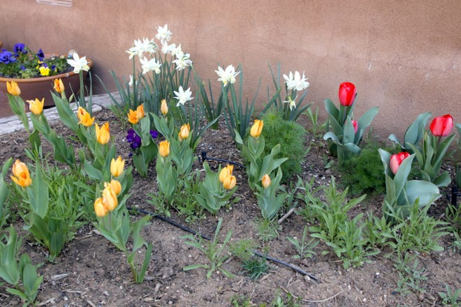 A small outdoor flower bed featuring Dutch tulips.