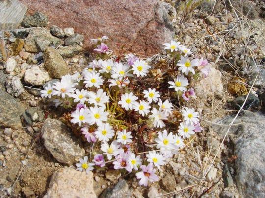 The beautiful ground-hugging white daises of desert star at maturity.
