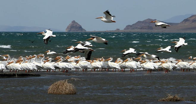 American White Pelicans are seen on the shores of Pyramid Lake on May 28, 2016.