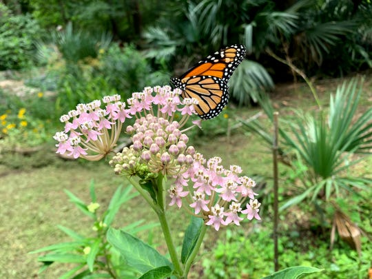 Pink Swamp Milkweed, Asclepias incarnata with a nectaring monarch butterfly.