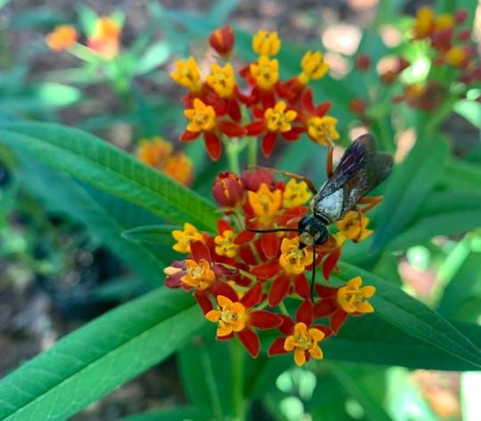 Tropical milkweed, Asclepias curassavica, typically sports red and yellow blooms, but variations of pure yellow or orange and yellow are also sold.