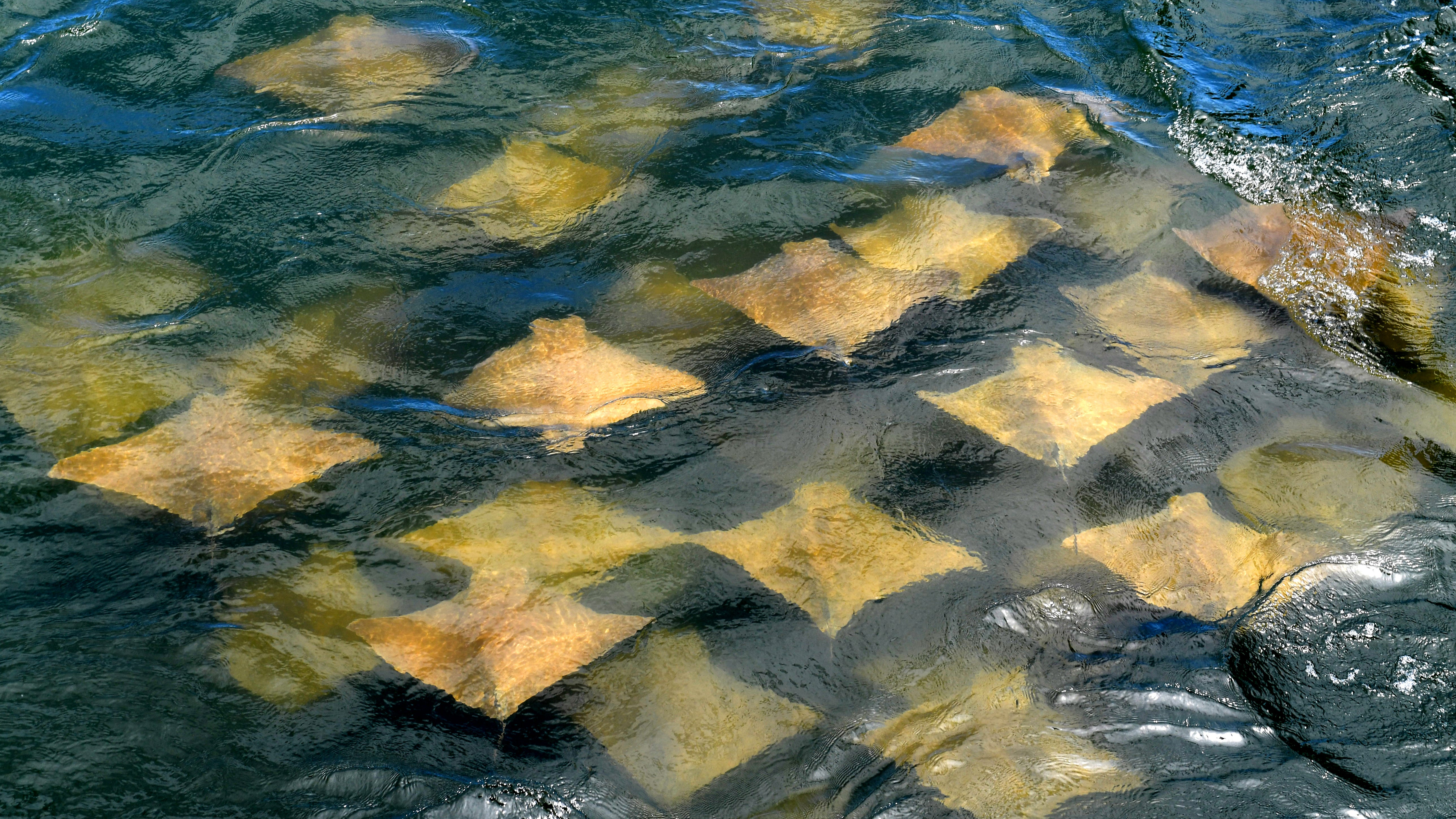 Adding to the biodiversity to the region, a fever of cownose rays glide through the rushing water under the bridge of Sebastian Inlet State Park on Tuesday, Aug. 20, 2019. The rays get their name from the distinct lobes on the front of their body that resemble a cowÕs nose. Often, cownose rays are seen swimming just beneath the surface. Unlike other rays, they rarely rest on the bottom of the ocean, minimizing the potential to harm humans.