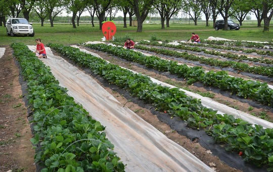 At The King's Good Vineyard and Berry Farm in Charlie, Texas, they have about an acre and a half available for UPick strawberries on Saturdays and Thursdays from 10 a.m. to 1 p.m.