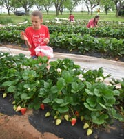 Audrey Morath and her twin sisters, Sydney and Charlee, pick strawberries at The King's Good Vineyard and Berry Farm. The farm offers UPick strawberries from 10 a.m. to 1 p.m. on Tuesdays and Saturdays.