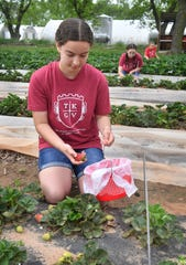 Charlee Morath and her sisters, Sydney and Audrey, pick strawberries at The King's Good Vineyard and Berry Farm in Charlie, Texas. The UPick strawberry season runs from early April to the end of May.