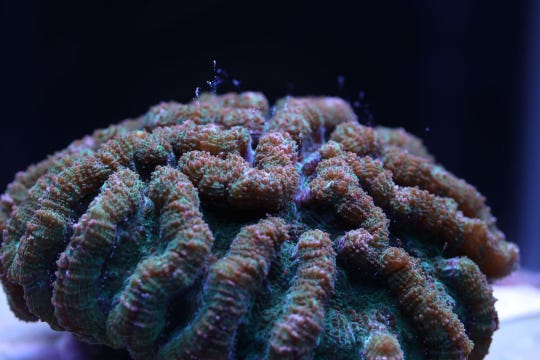 Scientists at the Florida Aquarium say the ridged cactus coral has bred in human care for the first time ever, a breakthrough that may help slow the decline of coral reef die-off.