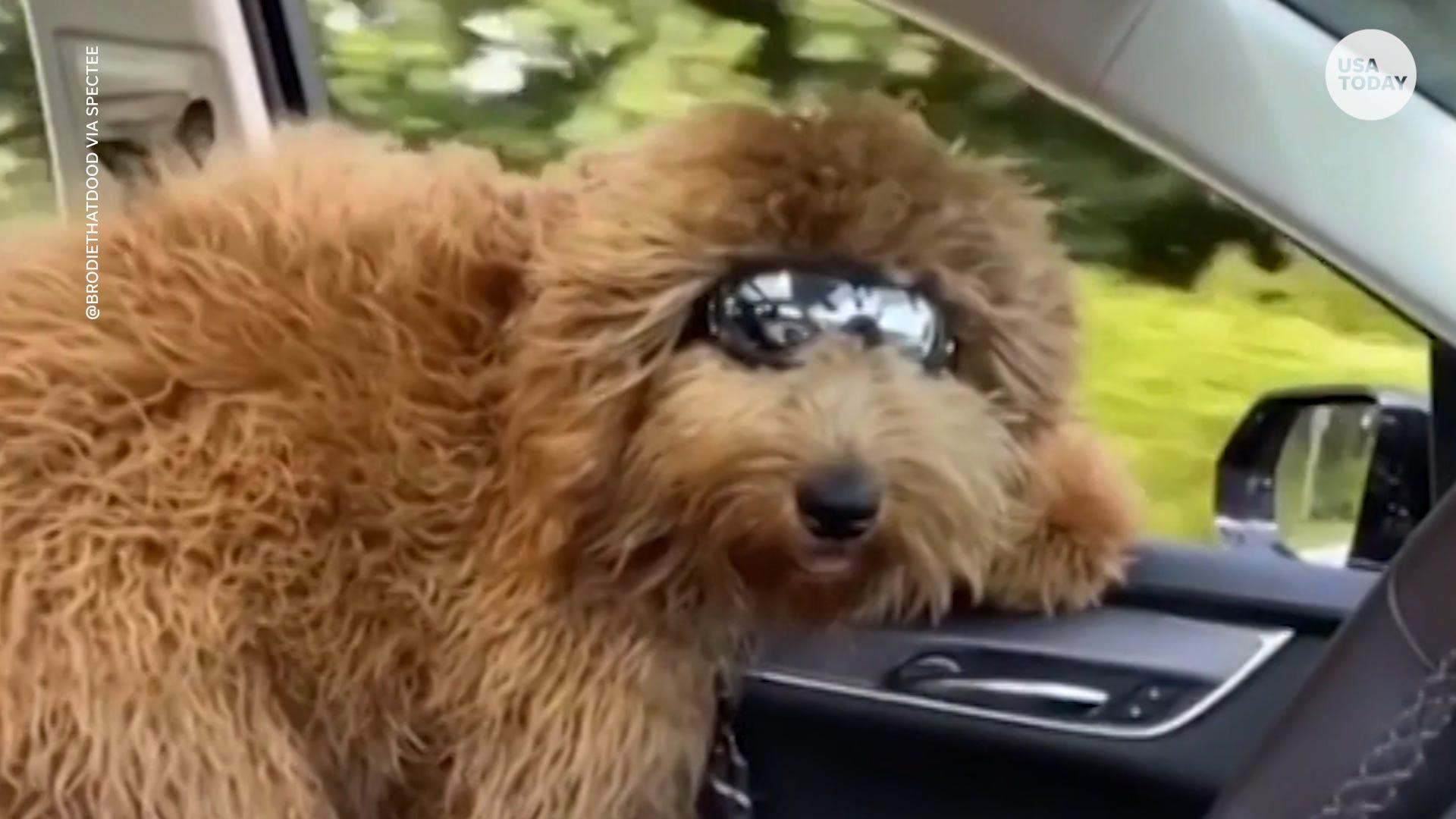 Fluffy dog loves feeling the wind through his hair on car rides
