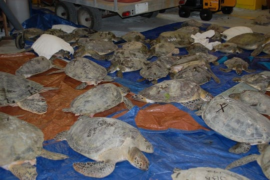 At Merritt Island National Wildlife Refuge, cold-stunned sea turtles are triaged and prepared for release when water temperatures rise.