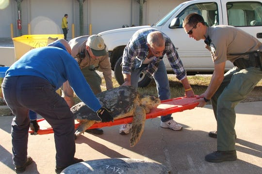FWC officers and partners bring a cold-stunned sea turtle into the triage area at Merritt Island National Wildlife Refuge.