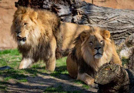 The Brookfield Zoo introduces their new lions, 4-year-old brothers named Titus, left, and Brutus, on April 2, 2020.