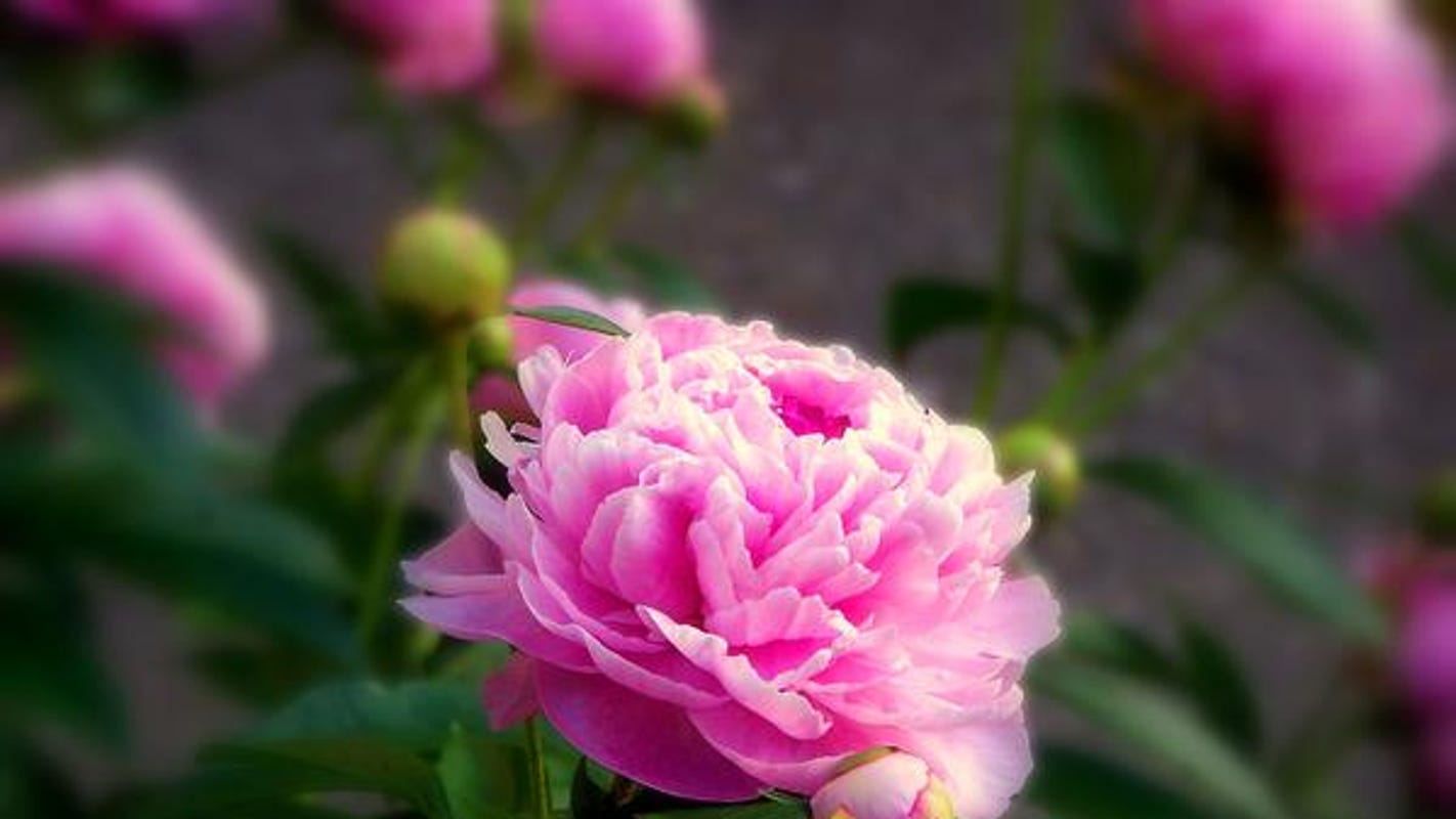 Gardening Tip To Preserve Peony Blooms For Fall