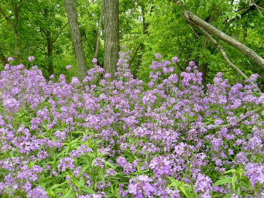 Invasive dame's rocket has flowers of four petals, unlike the wild blue phlox that has five petals and native to Wisconsin.