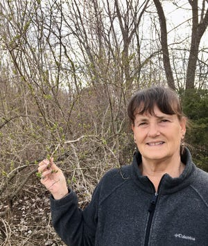Honeysuckle shrubs are pesky invasive plants for property owners, shown leafing out before most natives by Marcia Wensing of the Wisconsin Department of Agriculture, Trade and Consumer Protection.