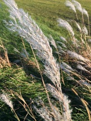 Miscanthus grass is being closely watched by the Wisconsin DNR due to its aggressive nature.