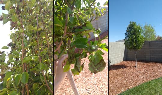Bradford pear tree with stress symptoms in Clovis, New Mexico.