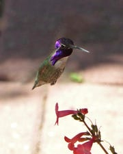 A male Costa's hummingbird flares his extravagant purple throat feathers.