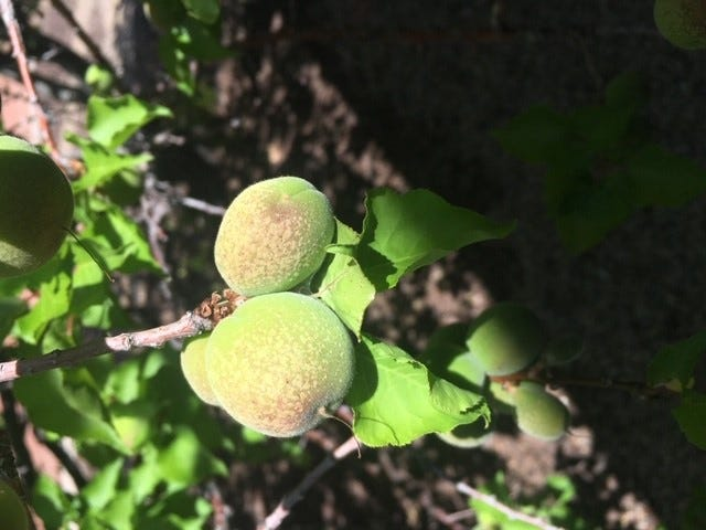 Stippling on these apricots in Albuquerque may be signs of frost damage.