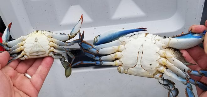 Female crab is on the left with the triangle marking, male on the right