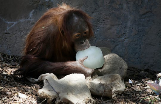 Khaleesi, a female orangutan born at the El Paso Zoo, turned five on Thursday, April, 23, 2020 with her parents Ibu and Butch. The trio shared presents filled with fruit and several flavored ice hunks were strewn about the enclosure. The El Paso Zoo celebrated the milestone with a birthday party complete with party streamers and presents.