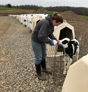 Caroline Daugherty feeds one of the 30 calves that get fed milk twice daily on the Daugherty Farm in Fresno. Operations at the Daughtery Farm are fairly normal, however other dairy farms are pouring out milk that they cannot get to consumers due to the coronavirus pandemic.