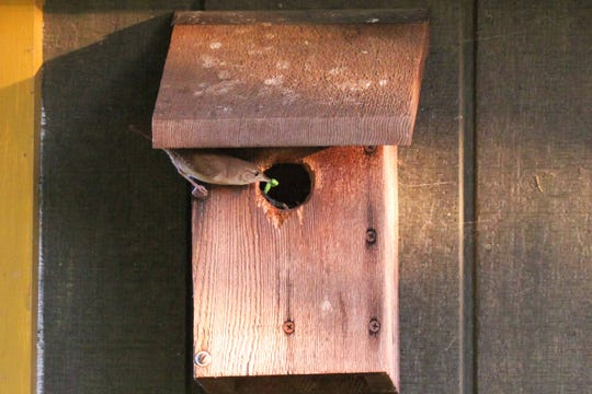 A house wren brings a caterpillar to its nestlings snugged into a nest box mounted on the side of our tool shed.