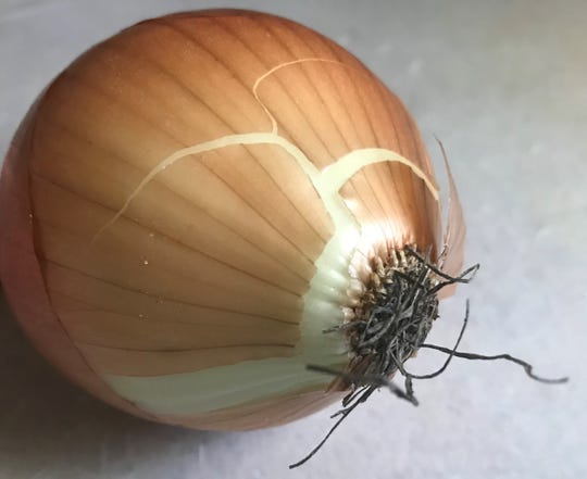 The greatest pungency of the onion is found in the tissues at the base of the bulb. Cutting through that part of a bulb releases the most pungency and would make you tear up faster than if you kept the basal portion intact and cut other parts of the onion.