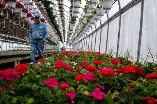 Mike Olejnik, who owns Blue Ribbon Farms and Greenhouses with his daughter, walks past colorful flower baskets Friday, April 24, 2020, in one of his greenhouses in Marine City. Local greenhouses prepared for their season in suspense, but now are allowed to operate as long as they follow social distancing guidelines.