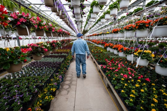 Mike Olejnik, who owns Blue Ribbon Farms and Greenhouses with his daughter, walks past colorful flower baskets Friday, April 24, 2020, in one of his greenhouses in Marine City. Local greenhouses prepared for their season in suspense, but now are allowed to open as long as they follow social distancing guidelines.