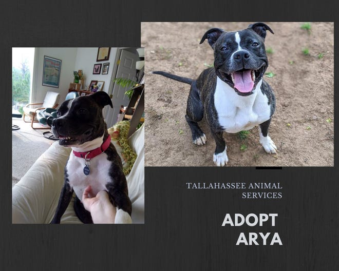 Arya's adoption fee would be $30, which includes her spay surgery, vaccines, and microchip + registration.