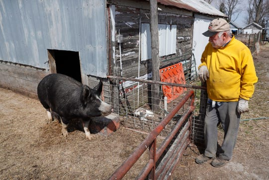 In this Friday, April 17, 2020, photo, Chris Petersen looks at a Berkshire hog in a pen on his farm near Clear Lake, Iowa. COVID-19, the disease caused by the coronavirus, has created problems for all meat producers, but pork farmers have been hit especially hard.