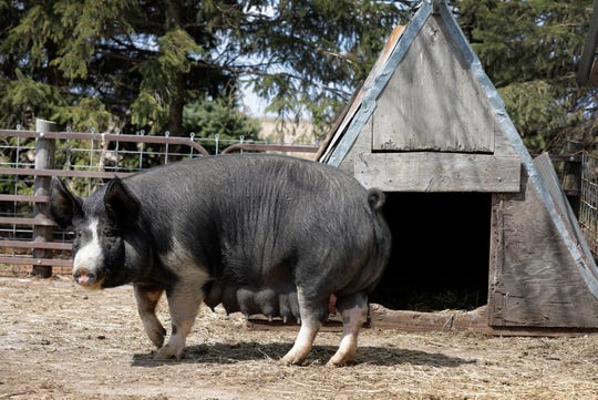 In this Friday, April 17, 2020, photo, a Berkshire hog stands in a pen on the Chris Petersen farm near Clear Lake, Iowa. COVID-19, the disease caused by the coronavirus, has created problems for all meat producers, but pork farmers have been hit especially hard.