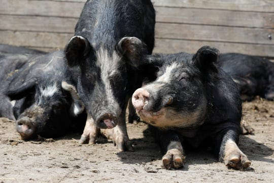 In this Friday, April 17, 2020, photo, Berkshire hogs rest in a pen on the Chris Petersen farm near Clear Lake, Iowa. COVID-19, the disease caused by the coronavirus, has created problems for all meat producers, but pork farmers have been hit especially hard.