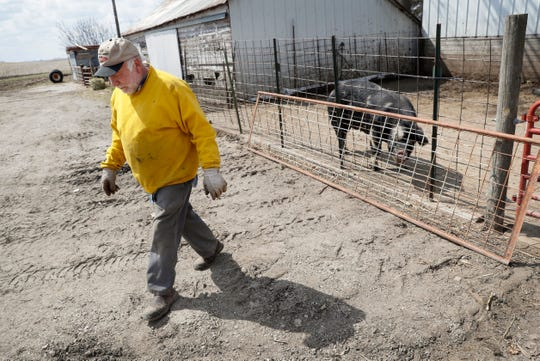 In this Friday, April 17, 2020, photo, Chris Petersen walks away from a Berkshire hog in a pen on his farm near Clear Lake, Iowa. COVID-19, the disease caused by the coronavirus, has created problems for all meat producers, but pork farmers have been hit especially hard.