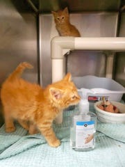 Kittens Kenny and Jason are following CDC guidelines for sanitation and social distancing. They are available for adoption from the Brevard Humane Society.