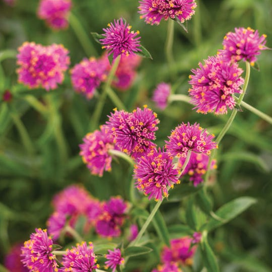 Truffula™ Pink Globe Amaranth