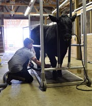 Alex Warthman cleans his feeder calf, Buddy, on Wednesday, April 21. Buddy's a big investment for Warthman, who has shown beef feeder calves at previous fairs, but it's unclear if the Fairfield County Fair will be held in the fall due to the ongoing pandemic.