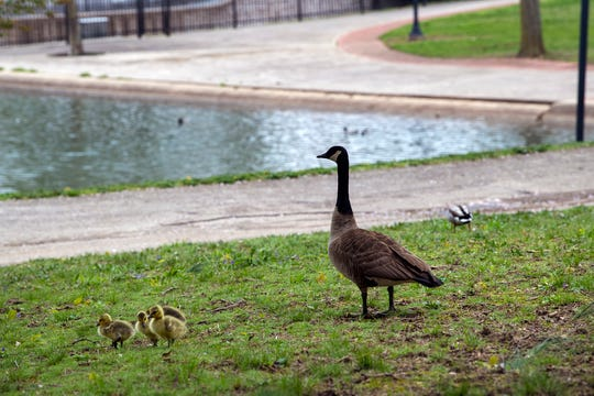 A goose walks with young next to Kiwanis Lake in York.