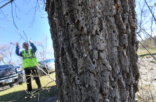 A tree shows damage to its bark Monday, April 27, 2020, along the Mississippi River near St. Cloud.