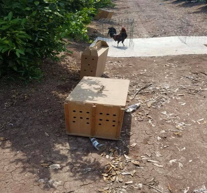 Tulare County Sheriff's deputies found 30 dead roosters and 11 caged roosters following a suspected cockfight in an Orosi orange orchard on Sunday.