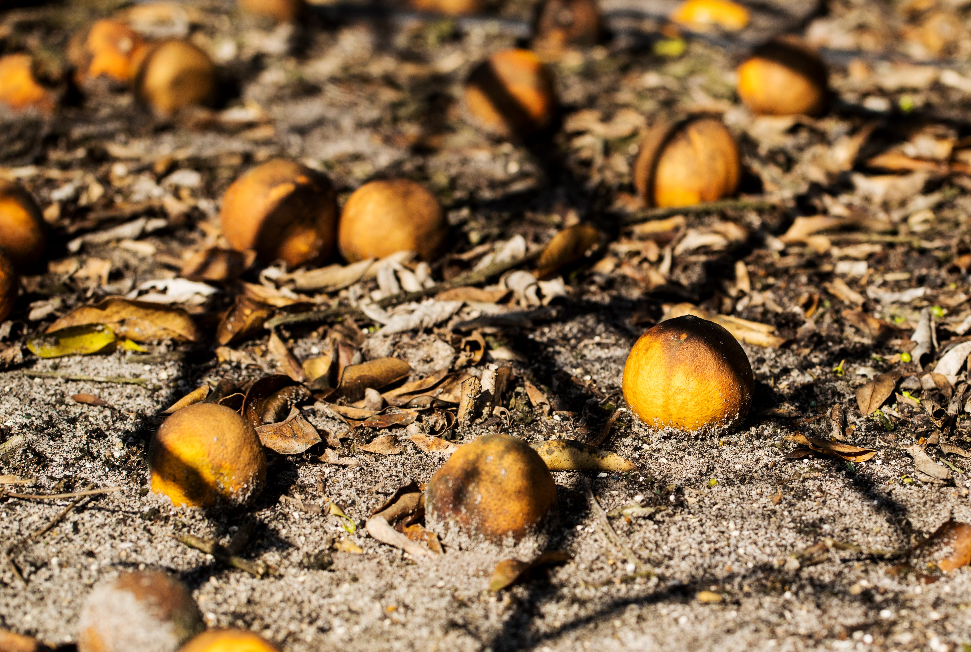 The loss of income from the thousands of oranges that dropped as George Winslow waited for a juice processing slot keeps Winslow up at night. Mounds of wasted fruit gathered beneath his grove's trees on Monday, April 27, 2020.  He estimates the loss at around a $1 million.