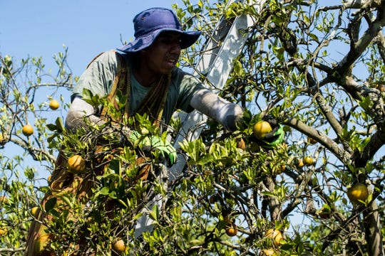 """An h2A worker harvests oranges for grower George Winslow at the """"G"""" Road Grove in Hendry County. The COVID-19 pandemic and other issues have affected the agriculture industry."""